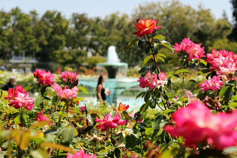 San-Jose-Municipal-Rose-Garden